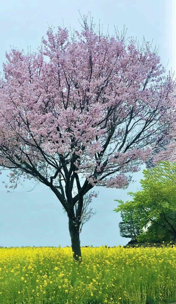 桜のように・・・